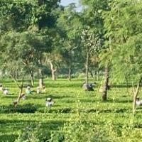 Arbete på tefälten; tufft och slitigt. (Detta är inte Rajabhat).