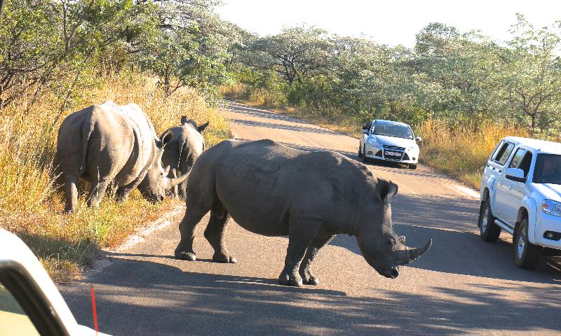 Noshörningsfamilj vill korsa vägen!