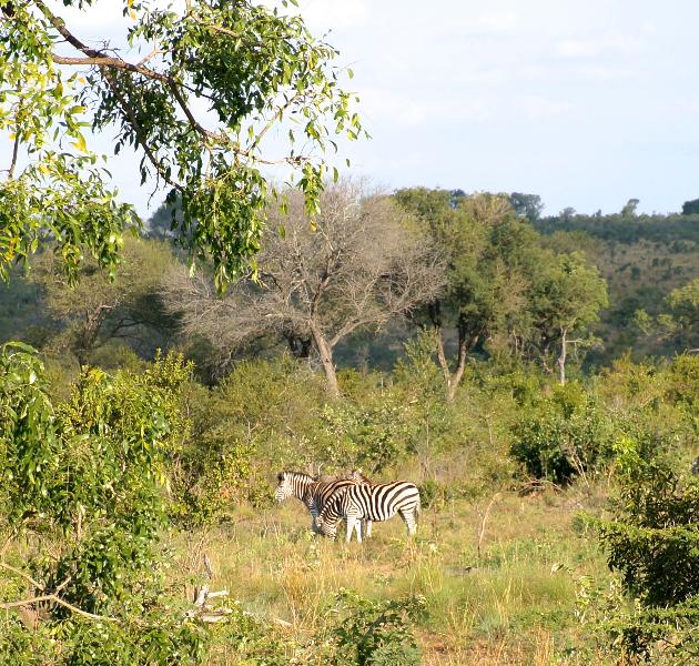 Tre zebror. Eller..?